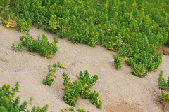 Forêt lilliputienne (Christophe Ramonet) Tags: france brittany bretagne sandwort purslane crozon finistere caryophyllaceae honckenya plagedelapalue pourpierdemer honkenie