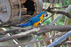 Blue-and-yellow Macaw (Jim Skovrider) Tags: bird birds animal animals zoo nikon macaw danmark ara blueandgoldmacaw araararauna ebeltoft blueandyellowmacaw d90 djursland nikond90 reepark afzoomnikkor70300mmf456g gulblara reeparkebeltoftsafari
