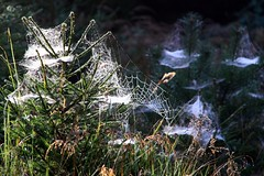 (:Linda:) Tags: germany thringen ast branch village spiderweb thuringia cobweb twig spinne baum spinnwebe conifer zweig nadelbaum konifere brden