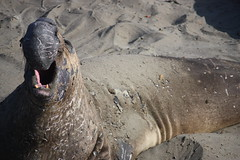 Elephant Seal (eyevandrago) Tags: ocean elephant beach animal mouth nose 1 coast sand highway san open pacific scratches pch seal roar simeon piniped elephantsealorg