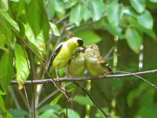 feeding baby goldfinch