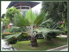 Latania loddigesii (Blue Latan Palm, Silver Latan Palm)