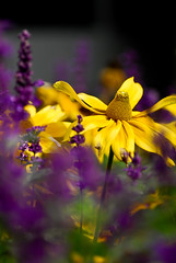 urban nature (Rachid Lamzah) Tags: city urban canada flower color macro building yellow lens dof purple quebec montreal filter sp saturation af tamron 90mm f28 cpl rachid shalow lamzah wonderfulworldofflowers