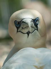Dj vu ... (iPhotograph) Tags: bird animal geotagged zoo stuttgart wilhelma northerngannet 85mmf14d specanimal itsazoooutthere geo:lat=4880641110582248 geo:lon=9206514650904371