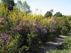New England aster and Goldenrod
