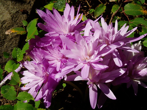 Colchicum Waterlily close up A