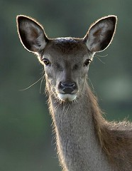 Deer_4 (PeterChad) Tags: park uk england art nature animal canon neck fur photography eyes europe glare photos wildlife doe deer whisker stare getty backlit hypnotic tatton fotocompetitiongold gettyimagescurators
