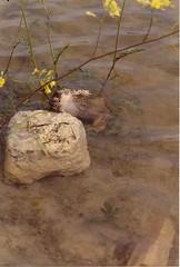 Pelobates cultripes y Epidalea calamita. (chemazgz) Tags: espaa fauna spain europa animales amphibians sapos animalia aragn anfibios amphibia vertebrata vertebrados pelobatescultripes Geo:country=spain sapodeespuelas herpetos Taxonomy:binomial=pelobatescultripes Taxonomy:common=sapodeespuelas herpeta naturalezadepresiondele