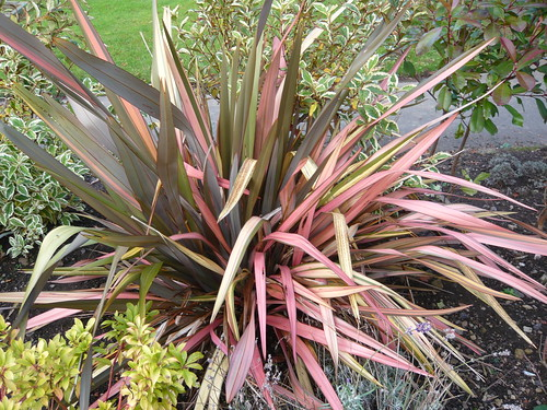 Low Allergy Garden Phormium Gardeners Tips
