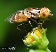 Featured (Sir Mart Outdoorgraphy) Tags: macro explore frontpage hoverfly hotshots fbdg sirmart outdoorgraphy dcmnovember digitalcameramagazinemalaysia