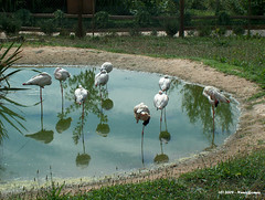 Flamingos (Nuno-Gomes) Tags: life wild nature animal zoo interesting fantastic bestof shot great flamingos best explore greatshot colored gaia ohhh nunogomes excelent quintadesantoincio superstarthebest travelsofhomerodyssey mygearandmepremium mygearandmebronze mygearandmesilver mygearandmegold mygearandmeplatinum mygearandmediamond ngomes
