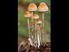 Hypholoma Fasciculare Sulphur Tuft (chippyrob) Tags: colour macro nikon fungi worcestershire dapa d80 robertpowell dapagroup dapagroupmeritaward chippyrob dapagroupmeritaward3 dapagroupmeritaward2