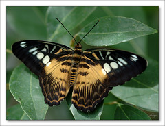 Parthenos Sylvia Philippensis  [The Brown Clipper] (fesoj) Tags: brown green butterfly insect geotagged butterflies lepidoptera soe parthenos brownclipper abigfave geo:lat=49933599 geo:lon=17775053