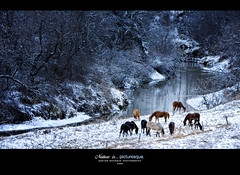 Pasture (Imapix) Tags: horse snow canada art nature canon landscape cheval photography photo stream foto photographie quebec rivire pasture qubec neige paysage grazing imapix gaetanbourque