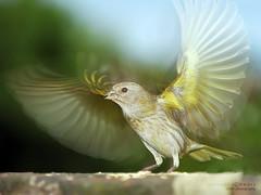 Voe! (Gigio Schwarz) Tags: bird nature canon eos rebel wings movement natureza sigma pssaro ave translucent movimento transparente asas 500d translcido canon500d canarinho 18250 specanimal 18250mm platinumheartaward t1i sigma18250mmf3563dcoshsm