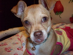 203_0423 (yellerhammer) Tags: dog chihuahua cute kawaii