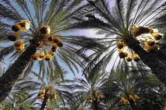 """ALGERIAN Desert ,Make the best dates quality in the World """" (menosultra) Tags: algeria desert dates algrie noor  algerian biskra  dalgrie         deglet reldbmgf2e5cd196v01"""