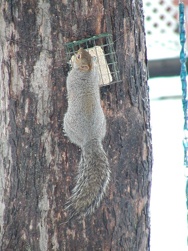 squirrel12-24-09