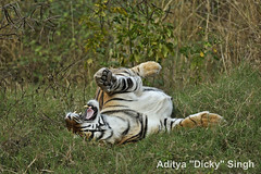 ADS_000006626 (dickysingh) Tags: wild india outdoor wildlife tiger bigcat aditya ranthambore singh ranthambhore dicky naimal adityasingh ranthamborebagh theranthambhorebagh wwwranthambhorecom