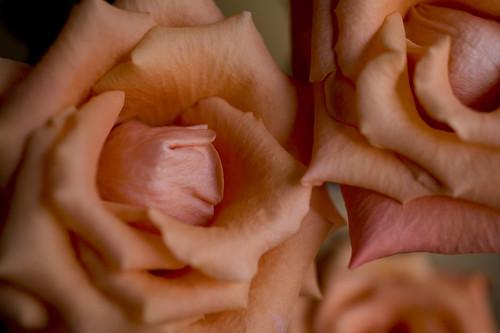 バラの真ん中が渦巻いてない不思議