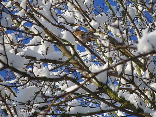 snowy redwing