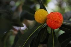 Bayberry   (Melinda ^..^) Tags: guangzhou china red plant tree fruit bokeh chinese mel melinda bayberry bayrum  myrica waxmyrtle  conghua hbw sweetgale candleberry  chanmelmel hbwe