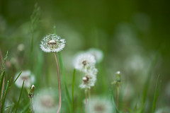 What Do You Wish For {Explored} (marysmyth (NOLA 13) ) Tags: nature spring bokeh greens dandelions dandelionclock dandies explored whatdoyouwishfor