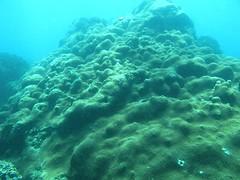圖.5 匍匐延伸的大錐珊瑚