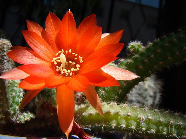 Flor de cactus II...