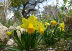 Osterglocken (Marlis1) Tags: narcissus tortosacataluñaespaña finca panasonictz71 marlis1 flowers