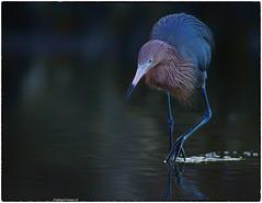 Reddish Egret (1) (RKop) Tags: florida reddishegret raphaelkopanphotography a77mk2 600mmf4apogminolta sony