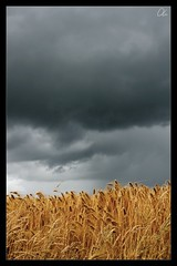 Stormy Wheat (oli1975) Tags: nature cloudy wolken stormy kornfeld sonyalpha700 appleaperture2 zeiss1680mm