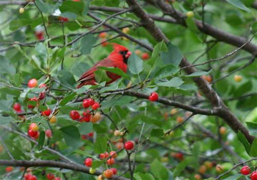 cherry cardinal