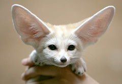 Fennec fox (floridapfe) Tags: cute face animal canon wow zoo korea fox fennec everland fennecfox aplusphoto