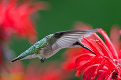 Colibri  gorge ruby - Rcolte du nectar (RichardDumoulin) Tags: flowers bird nature garden hummingbird wildlife redflowers colibri colibris rubythoatedhummingbird vosplusbellesphotos colibrisgorgeruby