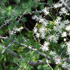 Encounter (adraskoy) Tags: canada nature newfoundland flora july larch 2009 grosmorne tamarack larixlaricina naturesquare