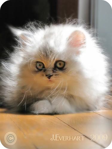 Daydream Kitten