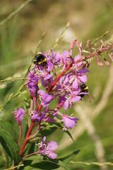 DSC03268 (Grey Hamster) Tags: uk england flower macro dof britain sony yorkshire reservoir bee 350 alpha dslr huddersfield blackmoorfoot a a350 ashowoff