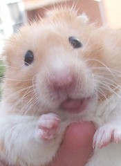 CJ's Tongue!! :P (AlohiMauie) Tags: pet pets cute grass animal animals tongue pose out fun outside gold golden rodent eyes day hand action sweet adorable posing jr cj carmel hamster paws rodents hamsters hold hammy hammies hamham dainty dayout syrian hamhams hammie darkie hammys carmeljr