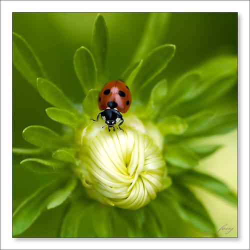 Slunéčko sedmitečné  [Ladybug]