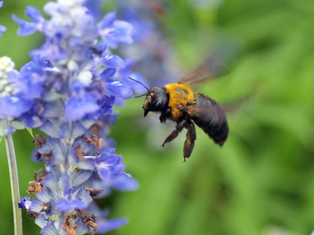Bumblebee クマン蜂(熊蜂)
