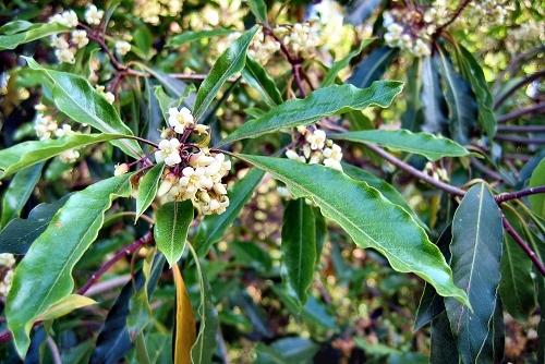 Pittosporum undulatum (rq) - 02