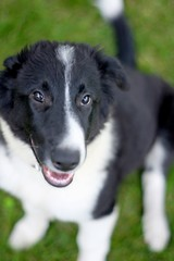 a little aimless (dan [durango99]) Tags: life old friends white black smile puppy for still collie time 10 farm border full 16 held weeks enthusiastic milking seconds jumpy rambunctious energetic