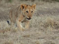 Lion cub (Janet Marshall LRPS) Tags: kenya lion safari masaimara 80400