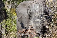 Elephant hiding - KNP (Nhlotini Waterhole) (hannes.steyn) Tags: africa nature animals fauna canon southafrica wildlife ivory elephants mammals reserves krugernationalpark mpumalanga limpopo knp canonef70300mmf456isusm 450d canon450d hannessteyn eosdigitalrebelxsi