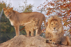 Linton Zoo: Lion Family (--CWH--) Tags: chris wild cats animals zoo cub flickr wildlife lion exotic lions cubs endangered mammals bigcats linton zoos wildcats lionphotos humphries lintonzoo endangeredanimals d40 visitengland nikond40 enjoyengland lionpictures flickrbigcats chrishumphries flicklion animalshootscom animalshoots