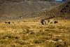 Alpagas broutant de l'herbe contaminée (La Rinconada, Puno, Pérou, août 2009)