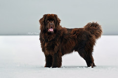 Kalisto (Kerli'sPhotography) Tags: winter dog brown cute adorable bigdog inthemiddleofnowhere newfoundlanddog stroomi kalisto sessioon kerlifoto