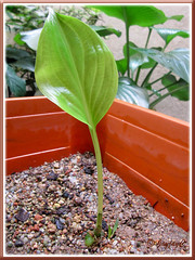 Newly emerged 17cm tall seedling of Proiphys amboinensis (Cardwell Lily), shot November 15 2009