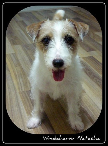 My Little Jack Russell Terrier (JRT)